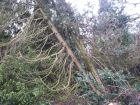 Windblown tree due to Feb 2014 storm